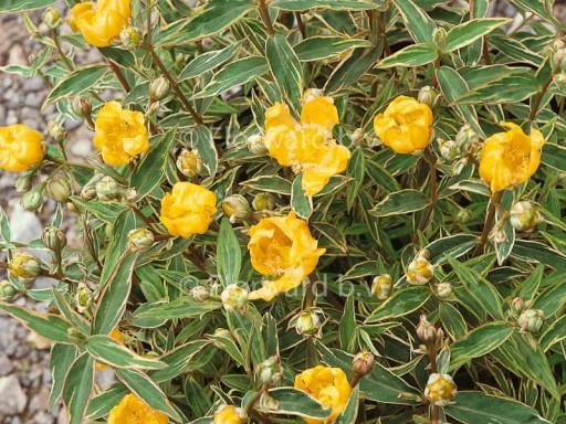 Hypericum moschatum 'Tricolor'