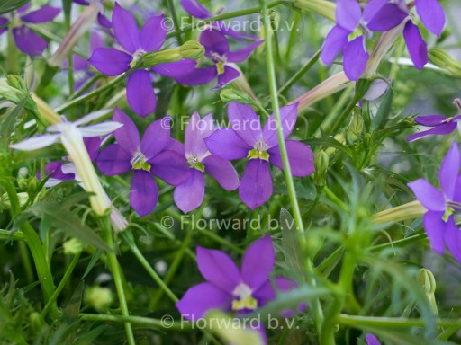 Isotoma (Pratia) fluviatilis 'Dark Blue'