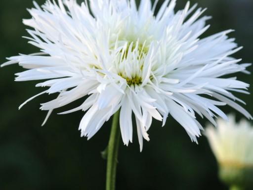 Leucanthemum x superbum 'Sante'PBR