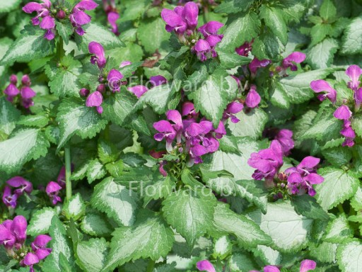 Lamium mac. 'Beacon Silver'