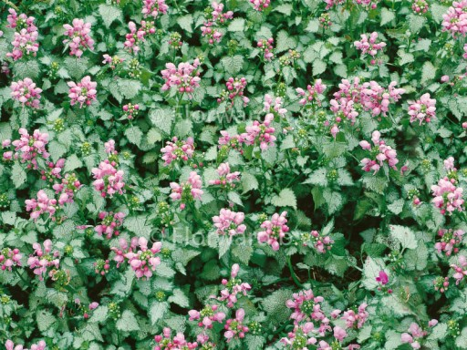 Lamium mac. 'Pink Pewter'