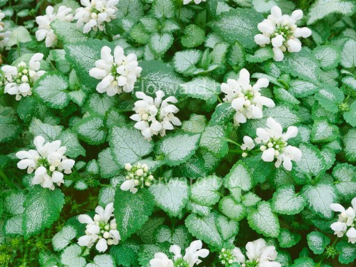Lamium mac. 'White Nancy'