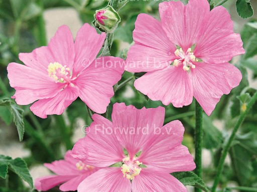Lavatera 'Candy Floss'
