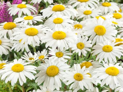 Leucanthemum superbum 'Snowcap'