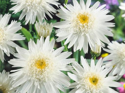 Leucanthemum superbum 'Wirral Supreme'