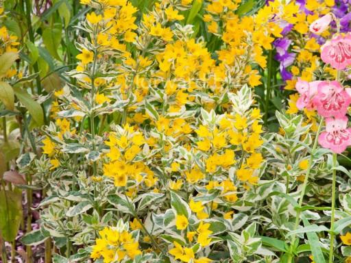 Lysimachia punctata 'Golden Alexander'PBR