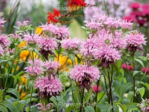 Monarda hybride 'Beauty of Cobham'