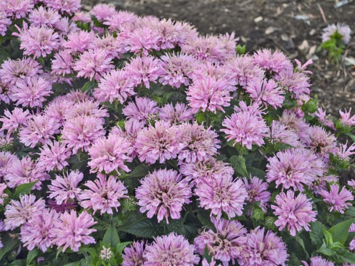 Monarda Suger Buzz 'Pink Frosting'PBR