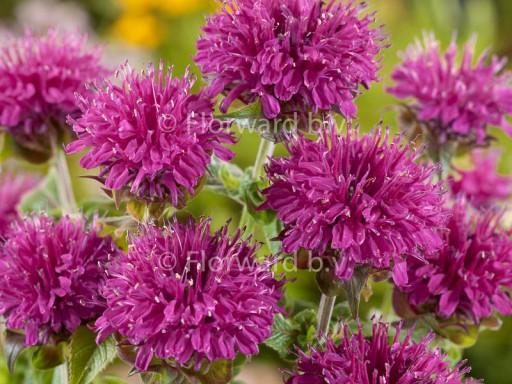 Monarda hybride 'Purple Lace'PBR