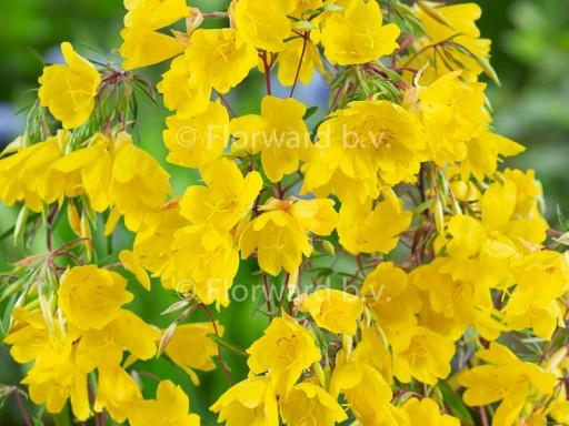 Oenothera 'African Sun'PBR