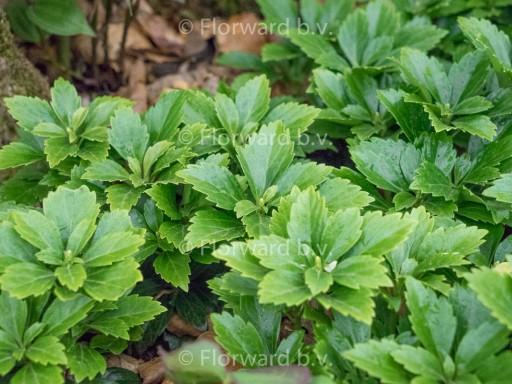 Pachysandra term. 'Green Carpet'