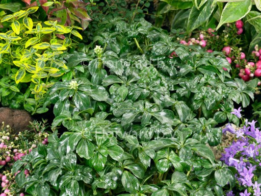 Pachysandra term. 'Green Sheen'