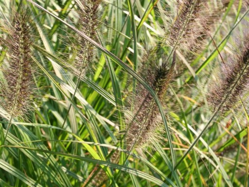 Pennisetum alopecuroides 'Black Beauty'