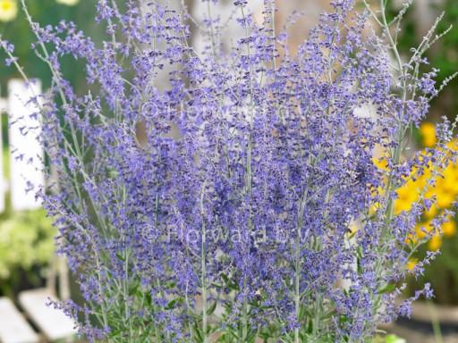 Perovskia atriplicifolia 'Little Spire'PBR EU6713