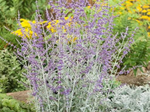 Perovskia atriplicifolia 'Silvery Blue' ('Lissvery'PBR) EU 20131334