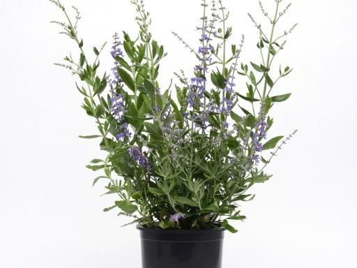 Perovskia atriplicifolia 'Blue Spritzer'PBR