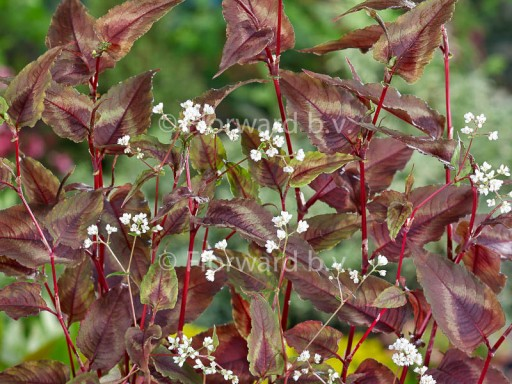 Persicaria micr. 'Red Dragon'PBR EU 11453