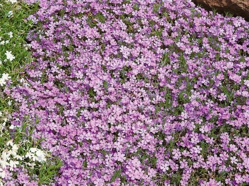 Phlox douglasii 'Lilac Cloud'