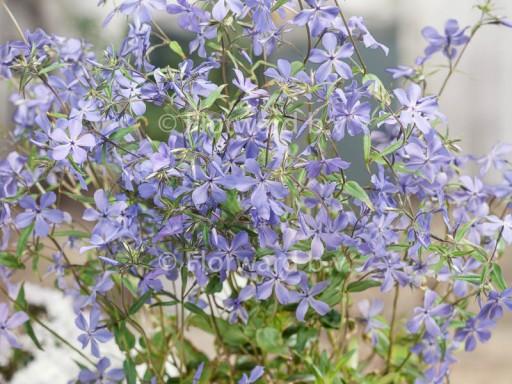 Phlox divaricata ssp laphamii