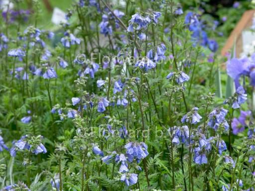 Polemonium yezoense 'Bressingham Purple'©