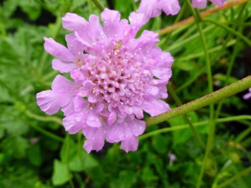 Scabiosa colum. 'Flutter™ 'Rose Pink'PBR EU46544
