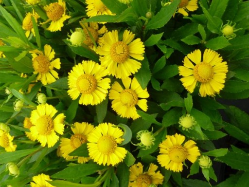 Helenium autumnale 'Salud Yellow'PBR