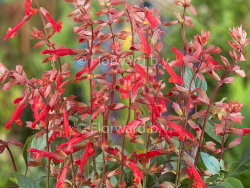 Salvia hybride 'Ember's Wish'PBR EU44540