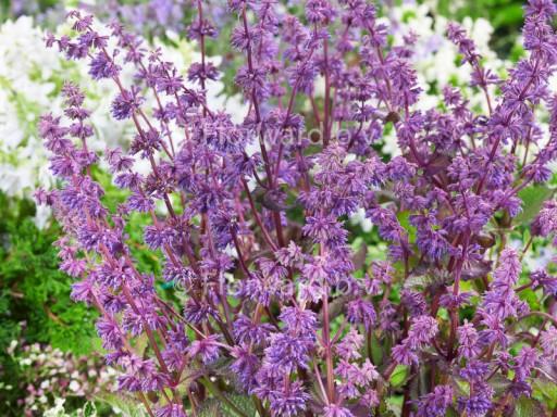 Salvia verticilata 'Endless Love'©