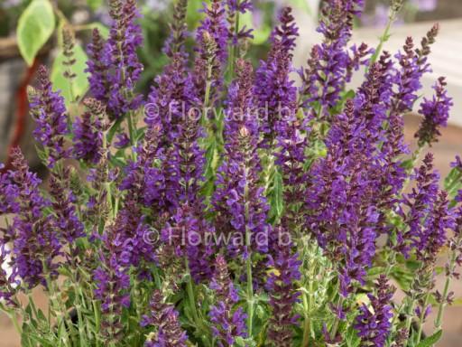 Salvia nemorosa 'Rügen'