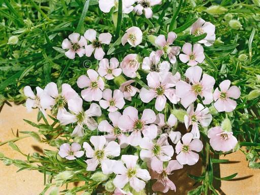 Saponaria x olivana