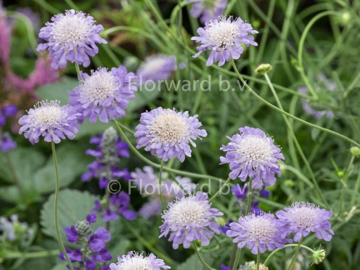 Scabiosa colum. 'Butterfly Blue'
