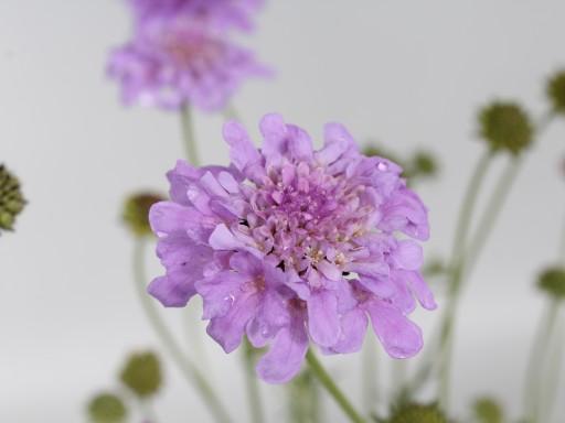 Scabiosa colum. 'Flutter™ 'Deep Blue'PBR EU46488