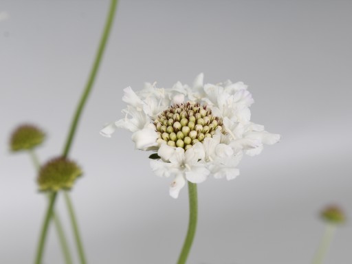Scabiosa colum. 'Flutter™ 'Pure White'PBR