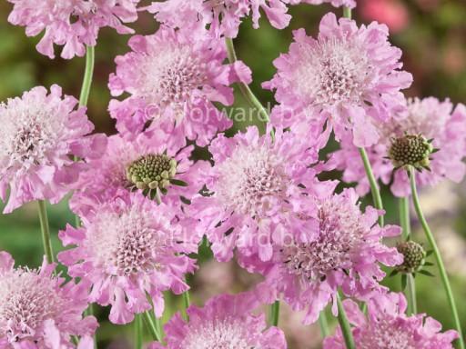 Scabiosa colum. 'Pink Mist'