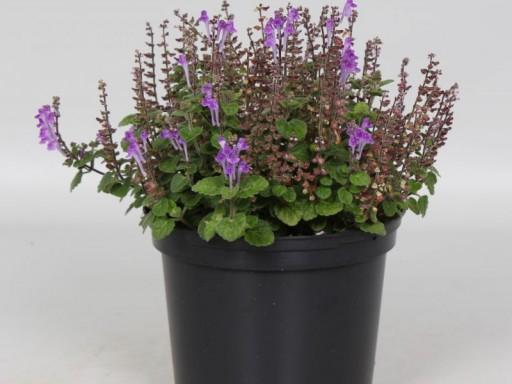 Scutellaria indica Parviflora