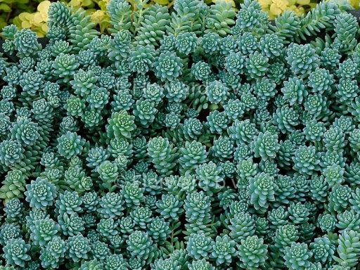Sedum dasyphyllum