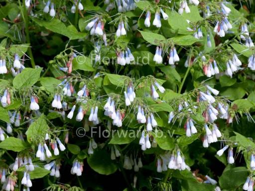 Symphytum grandiflorum 'Hidcote Blue'
