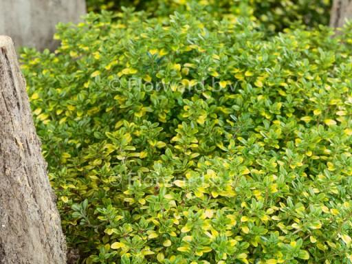 Thymus citriodorus 'E.B. Anderson'