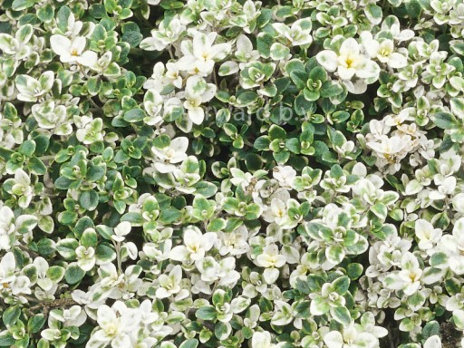 Thymus pulegioides 'Foxley'