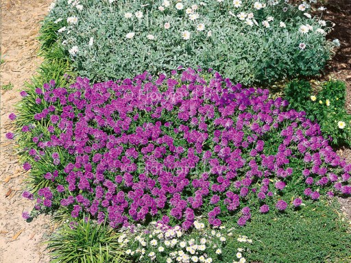 Verbena canadensis 'Homestead Purple'