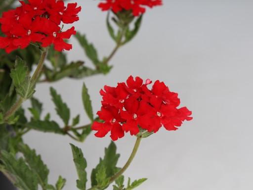 Verbena peruviana