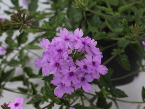 Verbena Seabrook's Lavender ('Sealav'PBR)