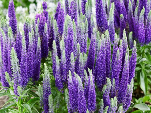 Veronica spicata Royal Candles ('Glory'PBR) EU 5056