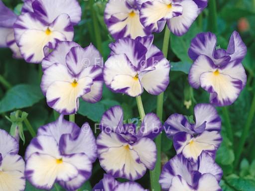 Viola cornuta 'Rebecca'