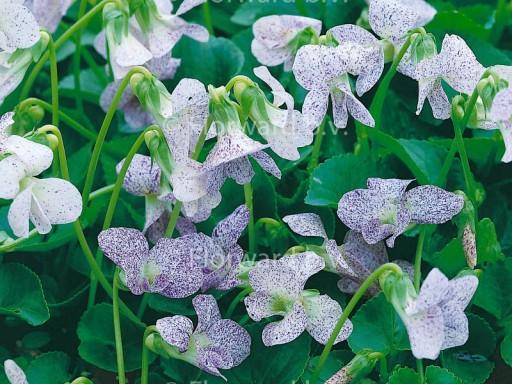 Viola sororia 'Dark Freckles'