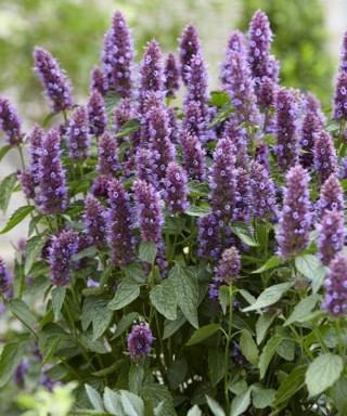 Agastache Beelicious® Purple ('Agapd'PBR)