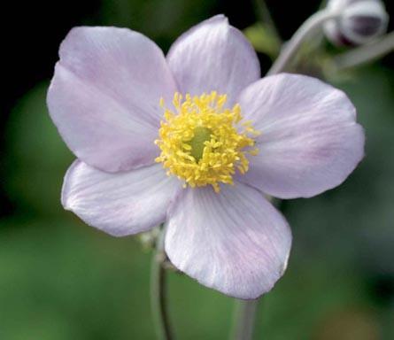 Anemone hybrida 'Elegans'