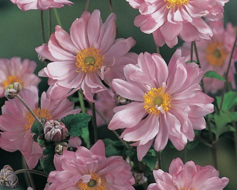 Anemone hybrida 'Mont-Rose'