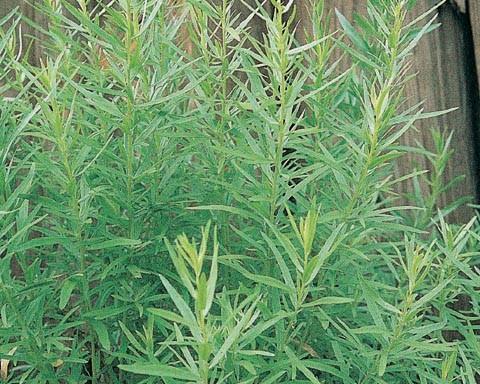 Artemisia dracunculus 'Senior'