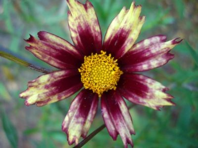 Coreopsis 'Redshift'PBR